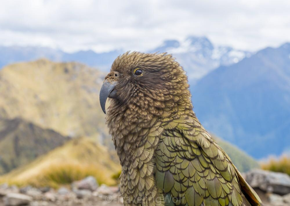 kea on kepler track new zealand